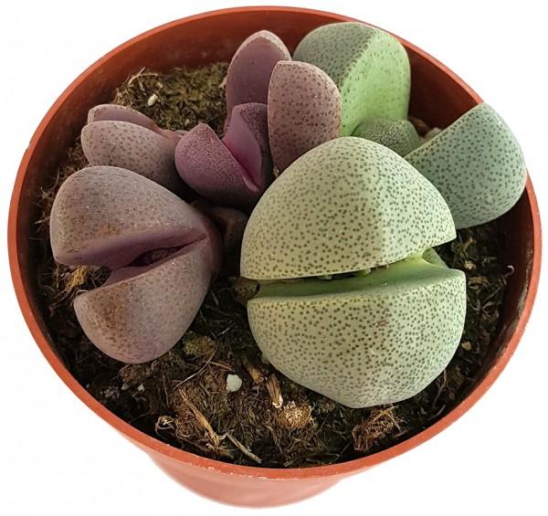 Pleiospilos nelii - bunte lebende Steine Set