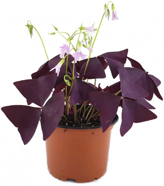 "Oxalis triangularis ""Mijke"" - essbarer Purpur Klee"
