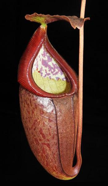 Nepenthes glandulifera x tenuis BE-3891