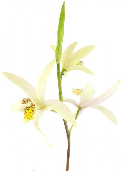Bletilla ochracea - gelbe Japanorchidee