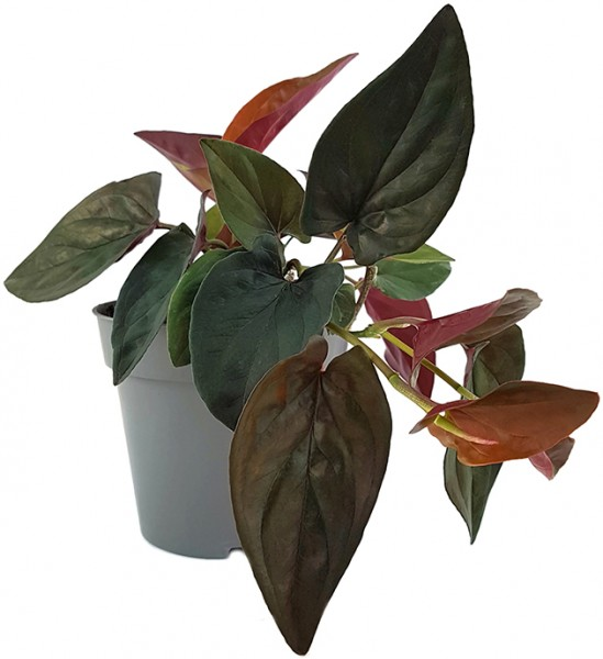 Syngonium Erythrophyllum 'Red Arrow' - Purpurtute