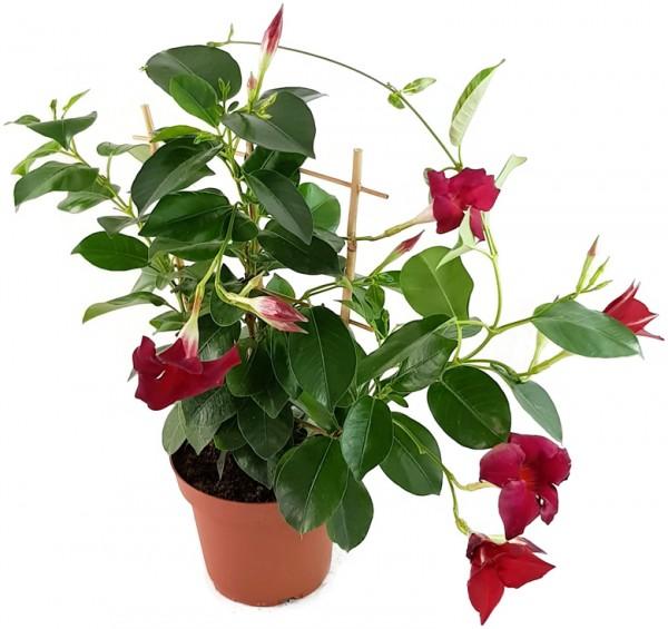 Dipladenia 'Sundaville Red' - Kletterpflanze
