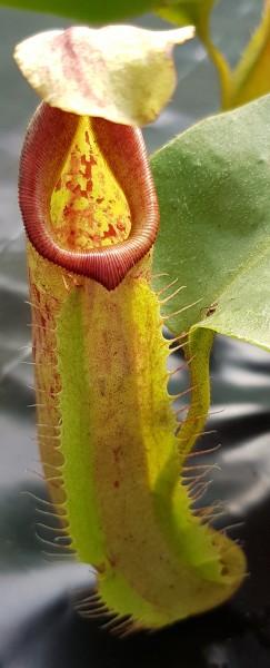 Nepenthes robcantleyi x veitchii Hybride Kreuzung borneo exotics hochlandpflanze Kannenpflanze fleischfressende pflanze zum hängen ampelpflanze fensterbank sonnig hell nephentes kaufen bestellen online robust zimmerpflanze selten karnivore