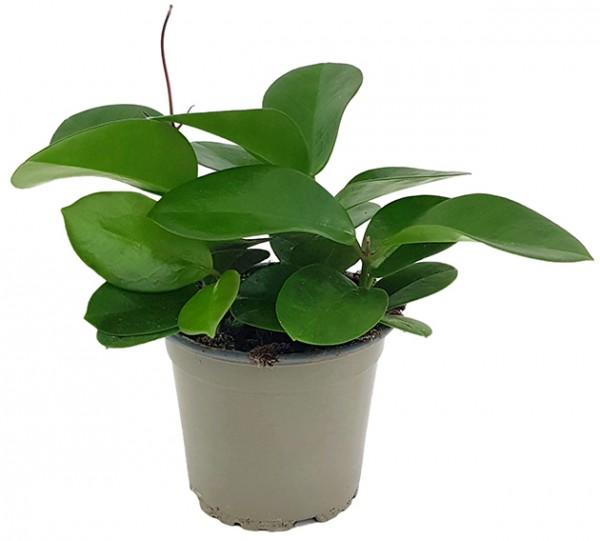 Hoya australis - Wachsblume