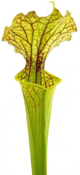 Sarracenia Moorei 'Leviathan'