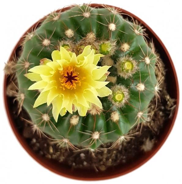 Notocactus uebelmannianus - auffallend schöne Blüten