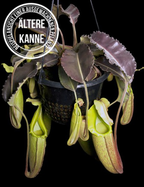 Nepenthes maxima 'Wavy Leaf' Green Pitchers BE-3907