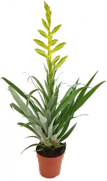 Tillandsia oerstediana - gelbe Bromelie