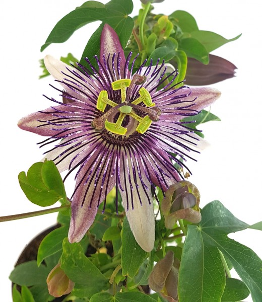 "Passiflora x belotti ""Kaiserin Eugenie"" - besondere Passionsblume"