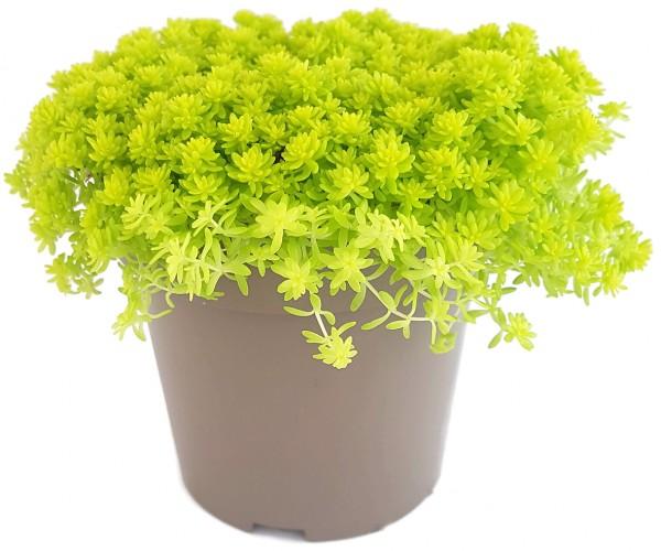 Sedum hispanicum 'Aureum' - Mauerpfeffer