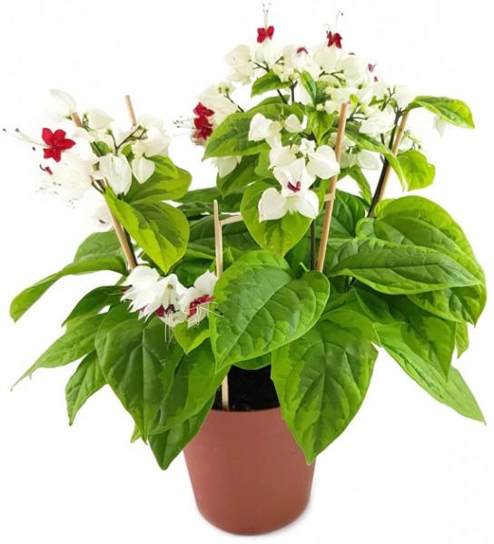 Clerodendrum thomsoniae 'varigata' - Losstrauch - SALE ohne Blüten