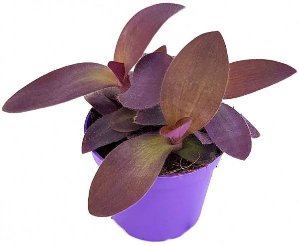 Tradescantia pallida 'Purple Passion' - violette Dreimasterblume
