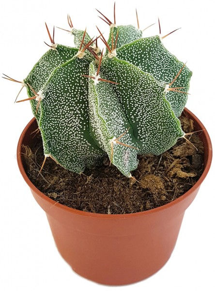 Astrophytum ornatum - Sternkaktus