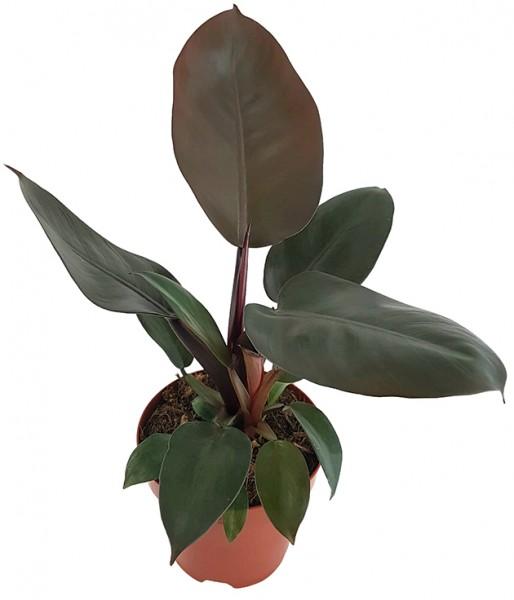 Philodendron 'Black Cardinal' - Baumfreund