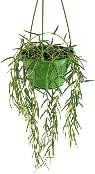 Hoya linearis - hängende Porzellanblume