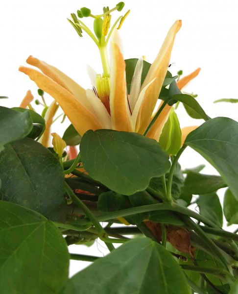 Passiflora aurantia - australische Passionsblume
