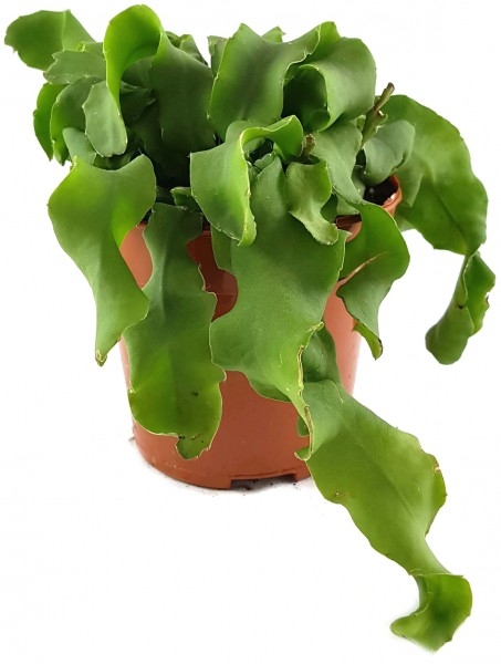 Epiphyllum guatemalense f. monstrosum - Sukkulente