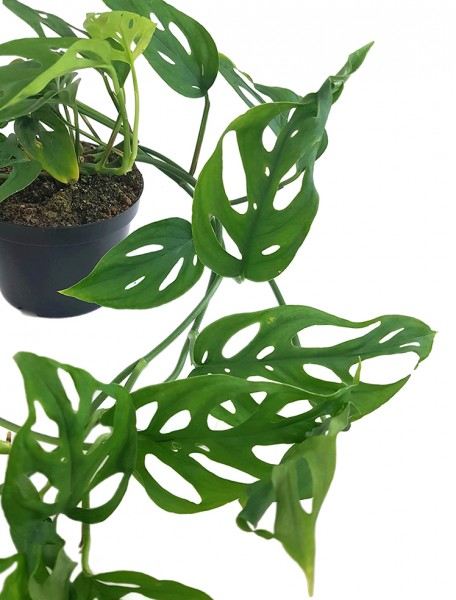 Monstera obliqua - schiefes Fensterblatt