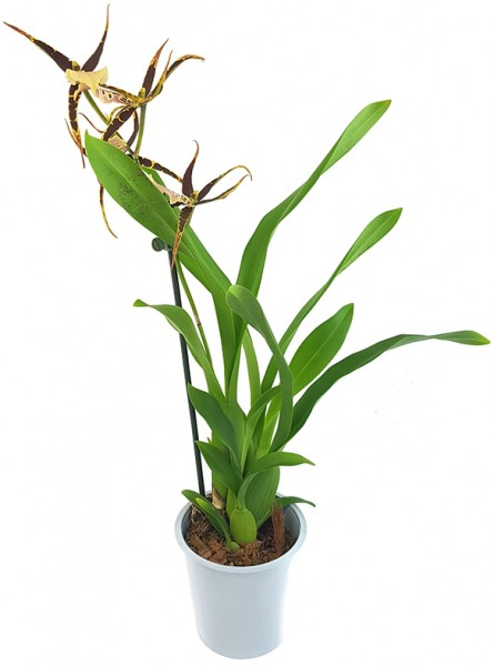 Brassia Eternal Wind 'Summer Dream' - Orchidee - SALE ohne Blüten