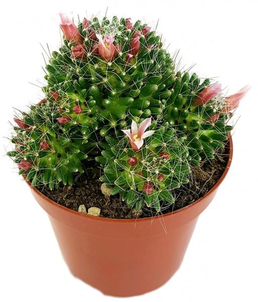 Mammillaria painteri f. monstruosa - Warzenkaktus