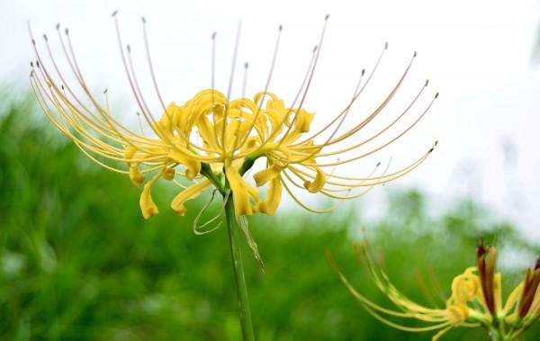 Lycoris aurea - gelbe Spinnenlilie