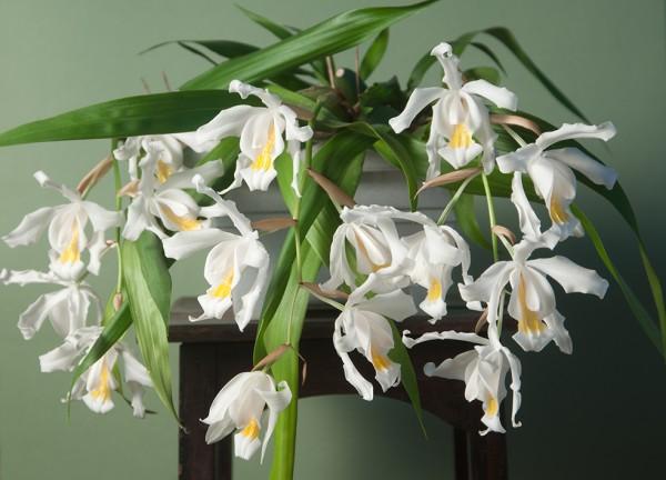 Coelogyne cristata - Engelsorchidee