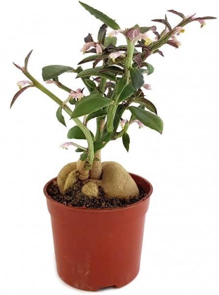 Monadenium montanum var. rubellum Euphorbia neorubella euphorbie Zimmerpflanze selten außergewöhnlich exotisch afrika kenia pflanze sammler dekoration zimmer Wohnzimmer caudex caudexpflanze rarität fangblatt interieur