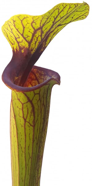 Sarracenia flava var. ornata 'Solid Red Throat' MK F88