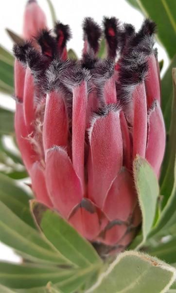 Protea neriifolia x magnifica - Tasman Ruby