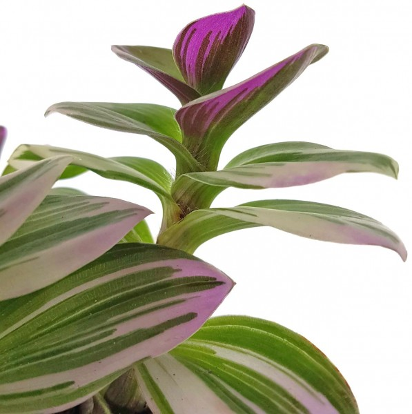 Tradescantia fluminensis 'tricolor' - Dreimasterblume
