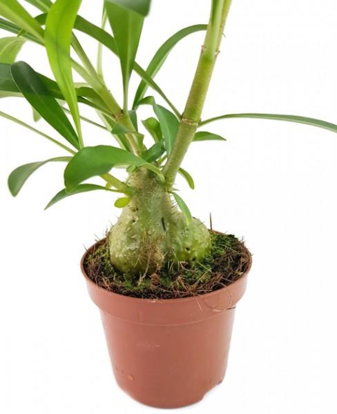 Hydnophytum perangustum - Ameisenpflanze