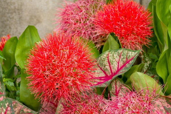 Scadoxus multiflorus - Blutblume