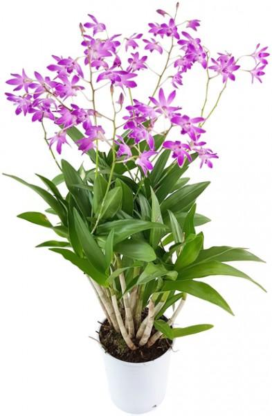 Dendrobium kingianum 'Berry Oda' - Orchidee SALE ohne Blüten