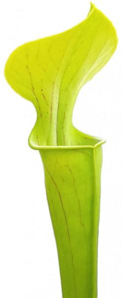 Sarracenia Oreophila 'Slim Phyllodia'