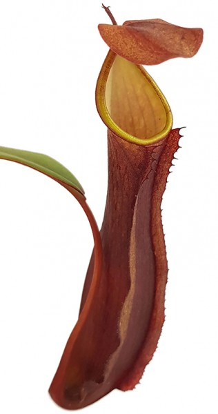 Nepenthes ramispina x reinwardtiana BE-3711