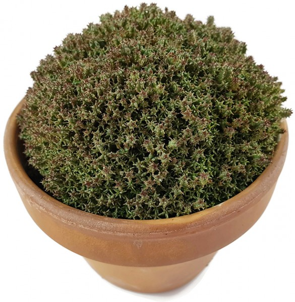 Euphorbia mammillaria f. compacta - Sukkulente