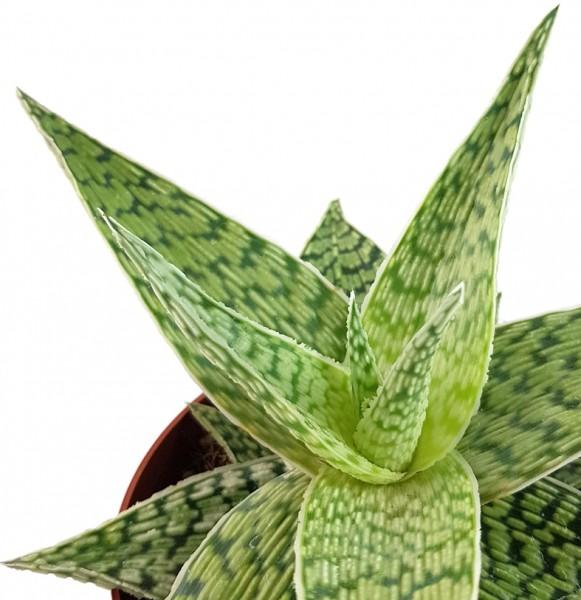 "Aloe ""Snow White"" Hybride - Aloe"