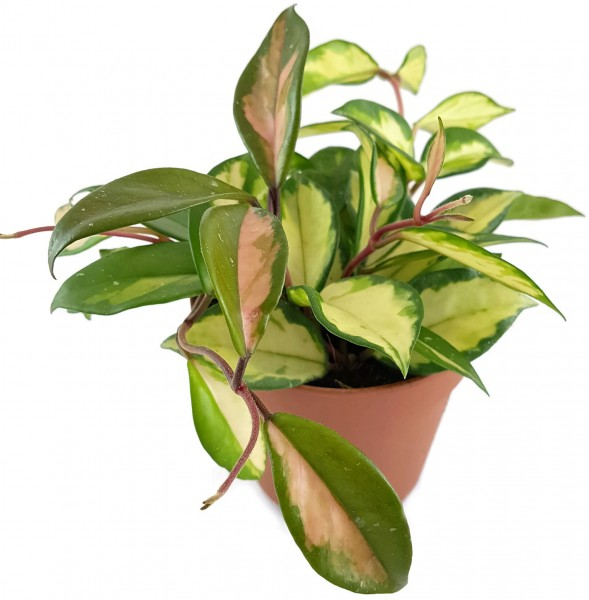 "Hoya carnosa ""tricolor"" - Wachsblume"