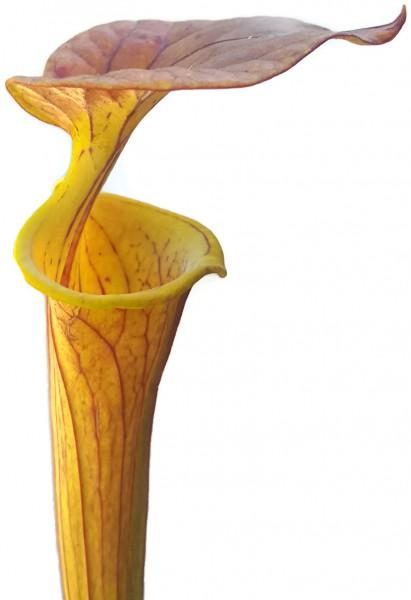 Sarracenia Flava var. Cuprea - Klon 2