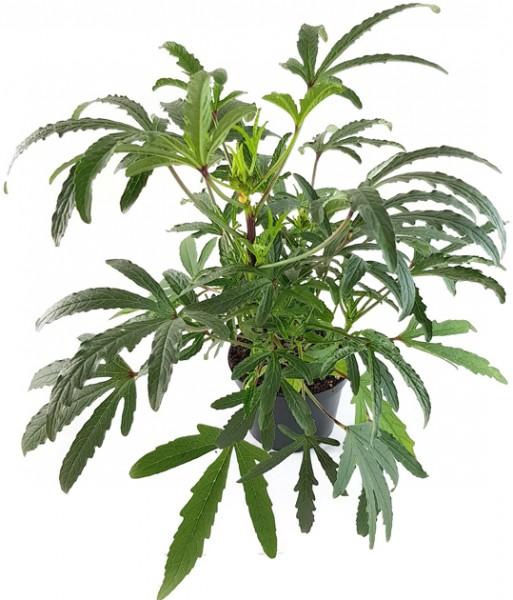 hibiscus sabdariffa tee hibiskus malvengewächs zimmerpflanze