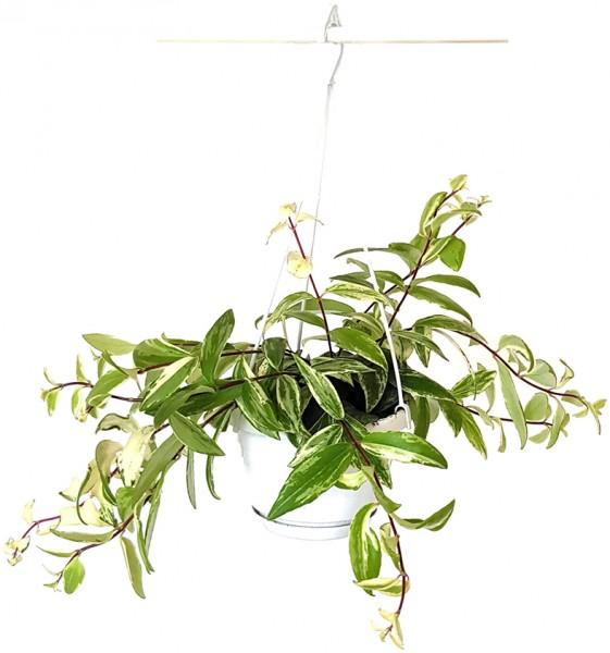 "Aeschynanthus Lobbianus ""Variegata"" - Schamblume"