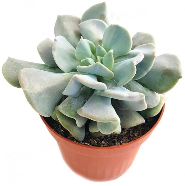 Echeveria 'Cubic Frost' - frostiges Dickblatt