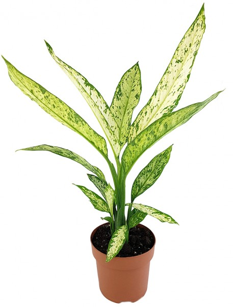 Dieffenbachia 'Vesuvius' - Blattschmuckpflanze