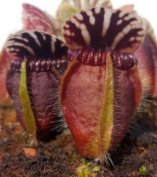 cephalotus follicularis eden black stephan morlay zwergkrug fangblatt fleischfressende pflanze karnivore selten rar rarität