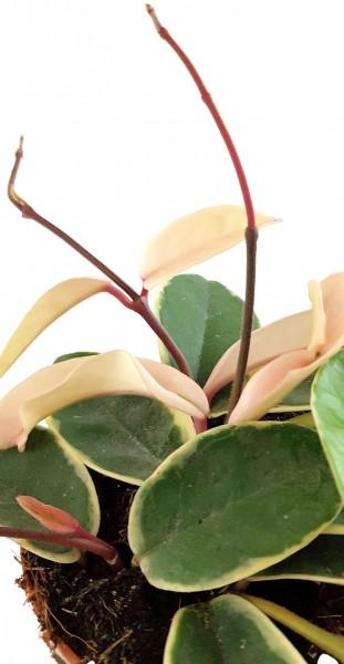 Porzellanblume Hoya carnosa Krimson Queen Wachsblumen