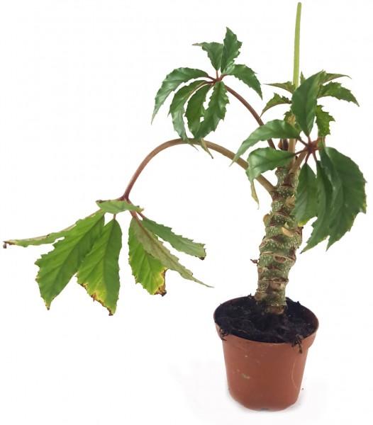 Begonia carolineifolia - Palmenbegonie