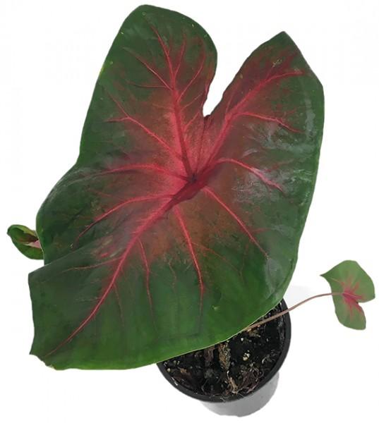 Caladium bicolor grün-rot - Buntwurz