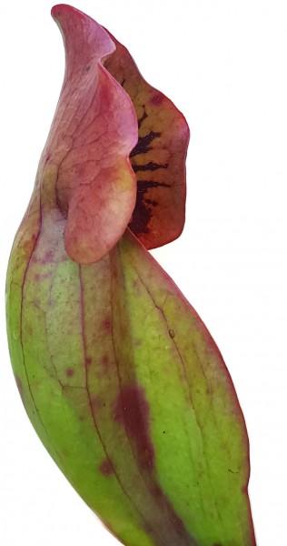 Sarracenia Purpurea ssp. Venosa var. Montana