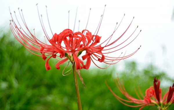 Lycoris radiata - Spinnenlilie - Blumenzwiebel