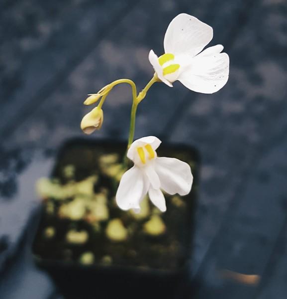 Utricularia geminiloba x nephrophylla - Bot. Garden Liberec, CZ